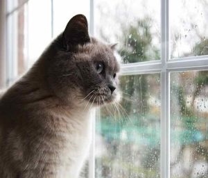 Bluepoint pedigree cat looks out of a rainy window